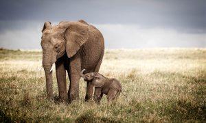 SAVANNA ELEPHANT WITH BABY