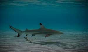 BLACK TIP BABY SHARK
