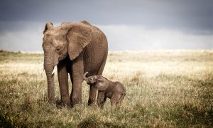 SAVANNA ELEPHANT WITH BABY
